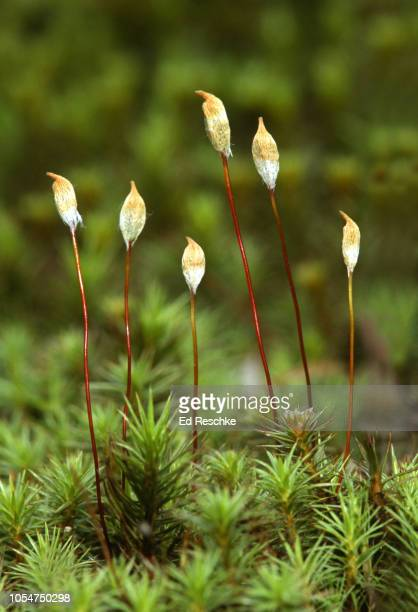 SPORE REPRODUCTION in a MOSS--shows SPOROPHYTES and SPORE CAPSULES covered by a CALYPTRA