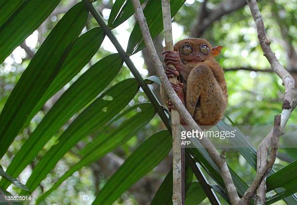 STORY PHILIPPINESENVIRONMENTTARSIER FEATURE In a picture taken on November 7 a Philippine Tarsier holds onto a branch on Bohol island in the...
