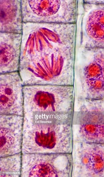 mitosis (cell division) in a plant, anaphase and telophase, 400x - celldelning bildbanksfoton och bilder
