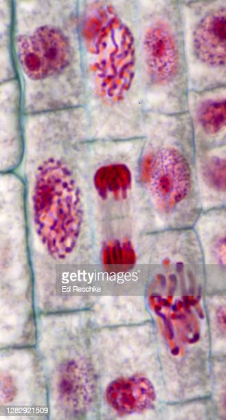 mitosis (all phases) in a plant--prophase, metaphase, anaphase, telophase and interphase (non-dividing cell) onion (allium) root tip, 400x - mitosis stock pictures, royalty-free photos & images