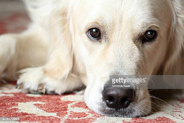 in a young dog's eyes - persian rug stock photos and pictures