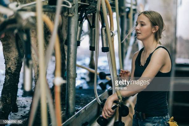 in action, young woman working on a utah dairy farm. - milking stock pictures, royalty-free photos & images