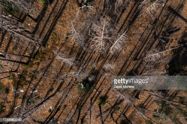 In an aerial view, a forest of trees that were killed by an exceptionally intense wildfire in a previous year are left standing on July 12, 2021 near...