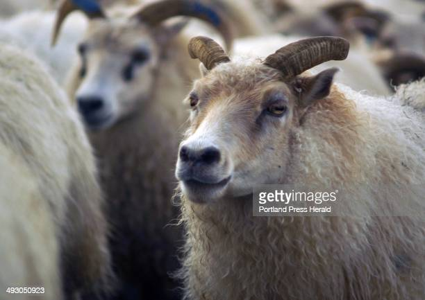 In an annual endofsummer pilgrimage sheep herders in southwest of Iceland ride Icelandic horses Thursday Sept 12 while pushing hundreds of sheep that...