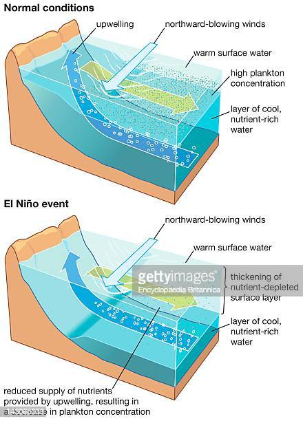 In An El Nino Event The Upper Water Layer Thickens And Upwelled Water Contains Fewer Nutrients Lowering Marine Productivity