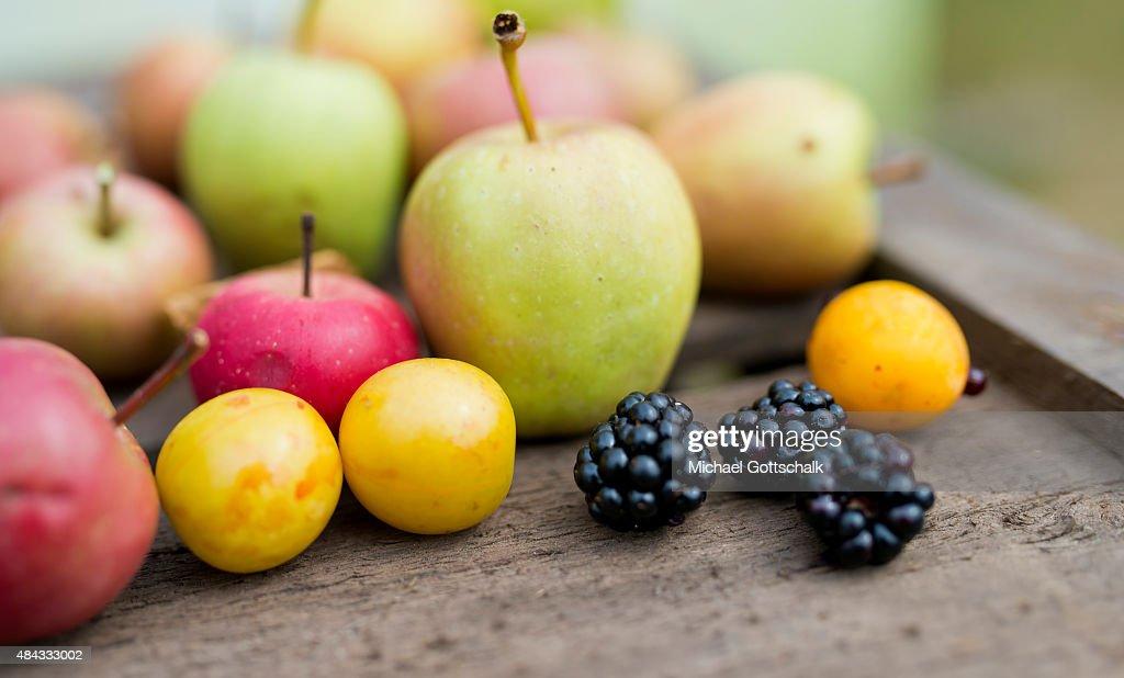 German Education Minister Johanna Wanka Harvests Fruits : News Photo