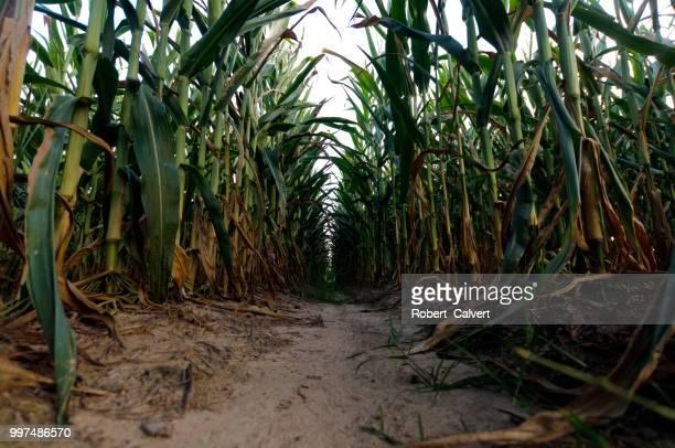 In between the corn rows