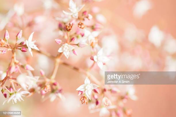 in bloom - peach flower stockfoto's en -beelden