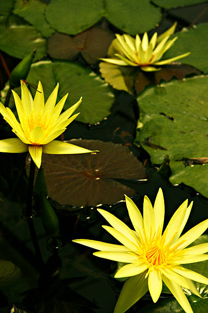 In buddhism the lotus flower representing purity of body in buddhism the lotus flower representing purity of body speech and mind mightylinksfo