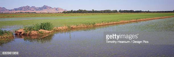 in californias sacramento river delta, young rice plants are just emerging in the flooded fields in late spring - timothy hearsum stock pictures, royalty-free photos & images