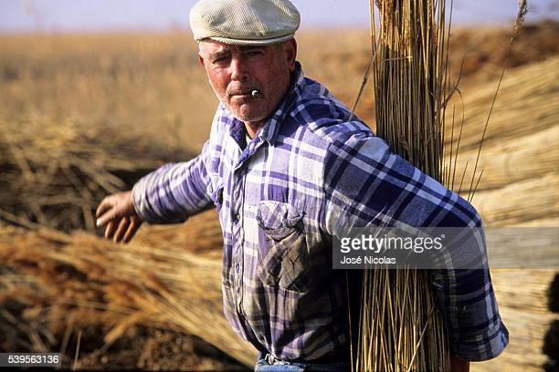 In Camargue the sagneurs cut the dry reeds in winter for covering the roofs of the traditional houses The reed harvest is done as a few decades ago...