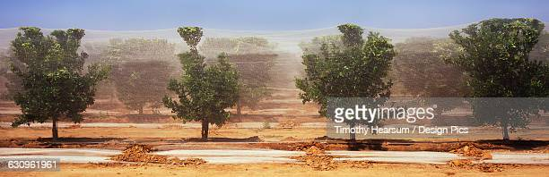 in central valley, a horizontal view of rows of orange trees, netted for bird and pest protection is seen in late spring - timothy hearsum imagens e fotografias de stock