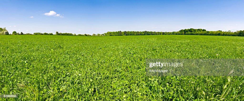 In clover field under blue skies : Stock Photo