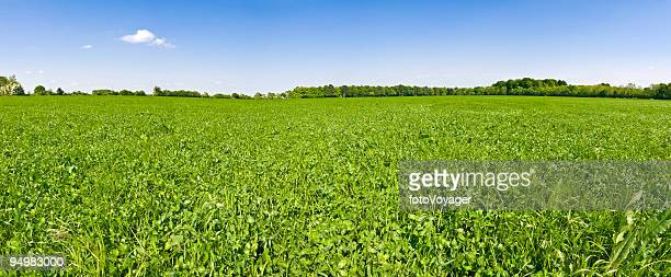 in clover field under blue skies - clover stock photos and pictures