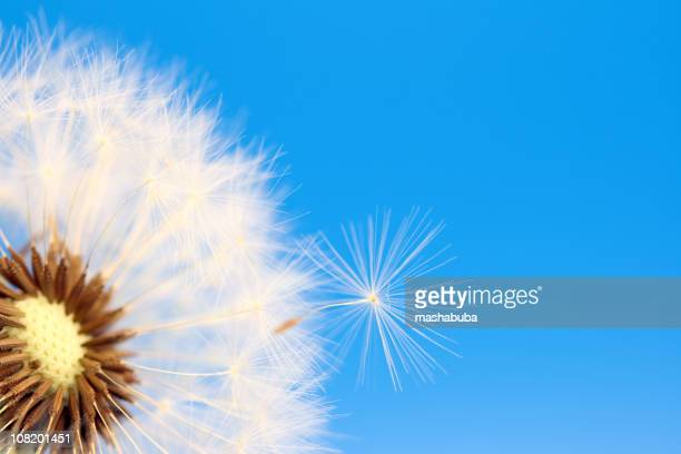 in flight - dandelion leaf stock pictures, royalty-free photos & images