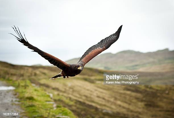 in flight - harris hawk stock photos and pictures