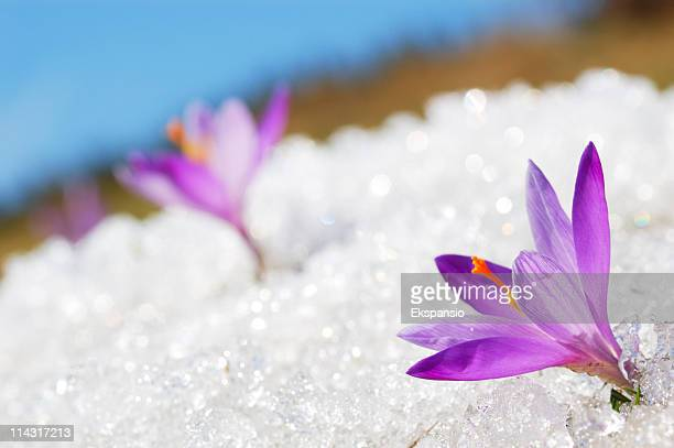In focus image of a purple crocus in the snow