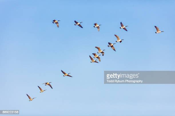 in formation - birds flying stock photos and pictures