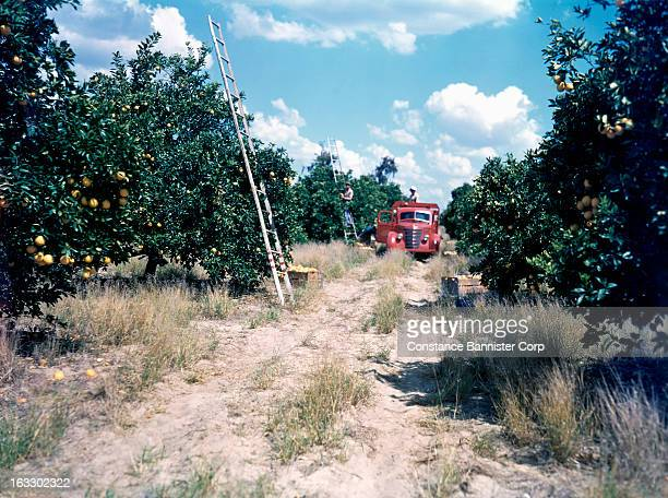 1944 in Hollywood California Orange Grove pickers with a red truck USA