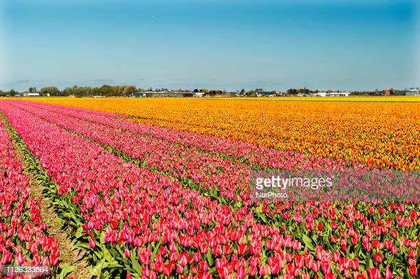 In Lisse in The Netherlands you can find Keukenhof one of the world's largest flower gardens established in 1949 and covering an area of 32 hectares...