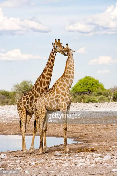 In Love, Kissing Giraffes