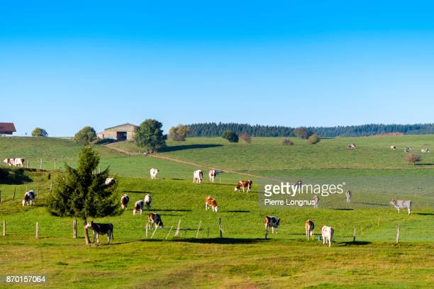 In mid-october, plateau in the Jura mountains of France, near the swiss border, where Monbeliarde Cows find plenty of space to graze. Theyr milk is famous to make Comté Cheese.