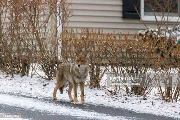 in my element - coyote stock pictures, royalty-free photos & images