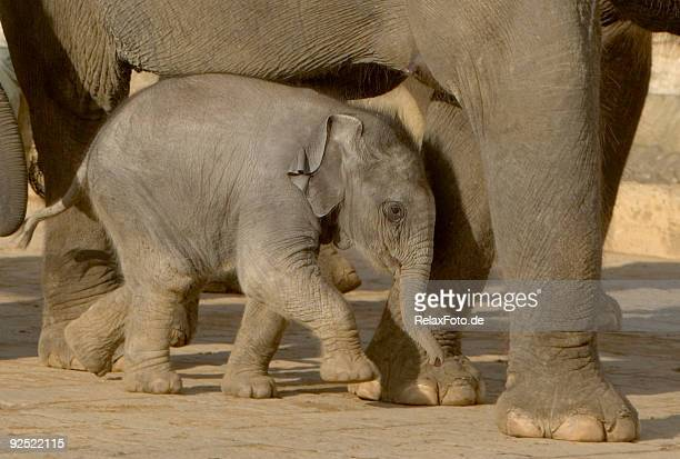 In need of protection - elephant calf under its mother