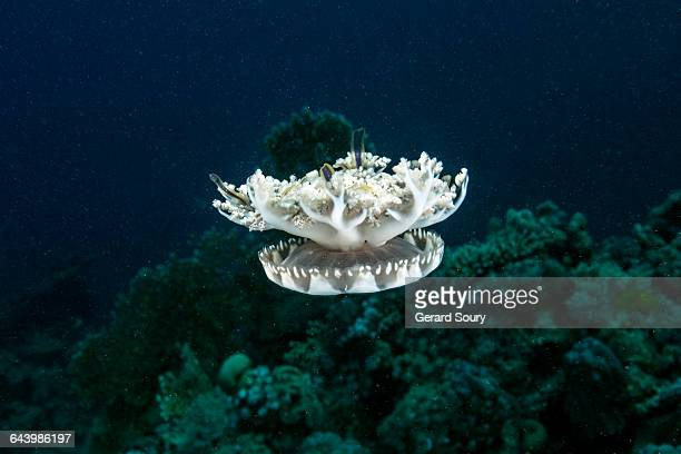 upside-down jellyfish in open water - upside down jellyfish stock pictures, royalty-free photos & images