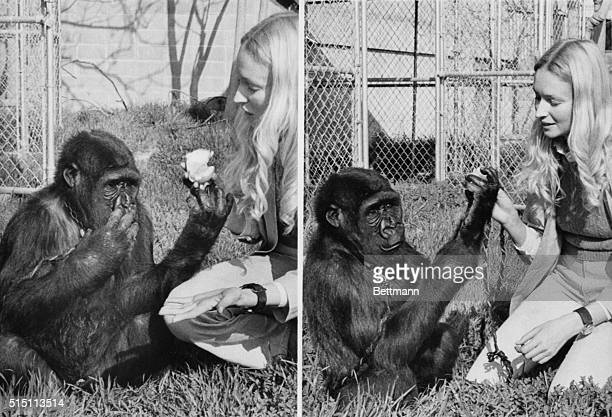 In several previous experiments sign language has been taught to chimpanzees but this is the first real attempt with a gorilla At left Koko indicates...