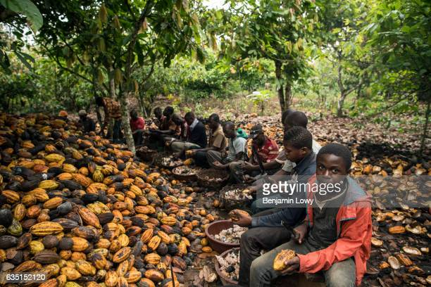 In small secluded farming commune near Abengourou a group of men and young boys sit in a tight circle around a mound of Cocoa melons breaking them...