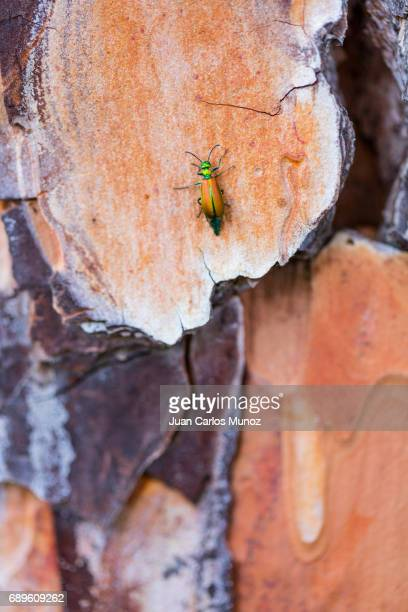 SPANISH FLY - CANTÁRIDA in spanish ( Lytta vesicatoria), Family Meloidae, Artropodos, PINO PIÑONERO - Stone pine (Pinus pinea)