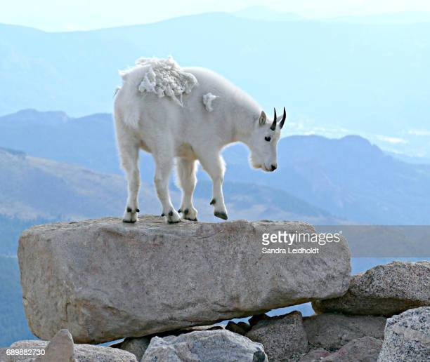 In Step with Nature - Rocky Mountain Goat - Colorado