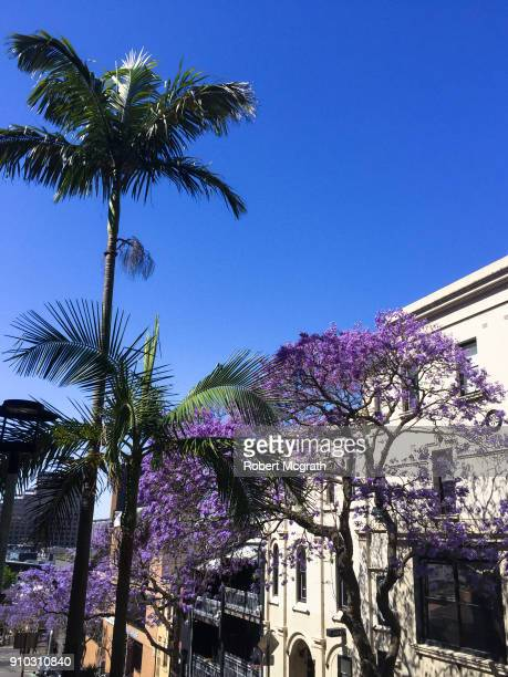 In string afternoon light, thin palm tress and flowering Jacanda trees inm front of hillside Victorian facades.