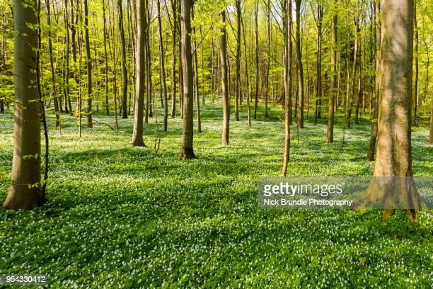 in the beechwoods - laubbaum stock-fotos und bilder
