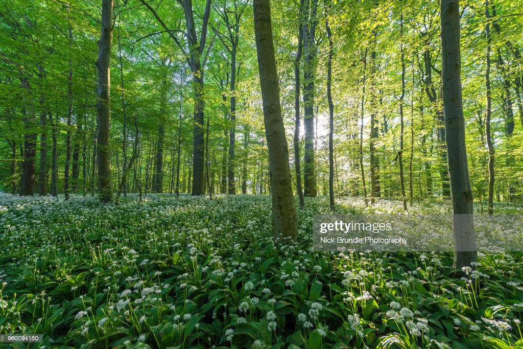 In The Beechwoods : Stock Photo