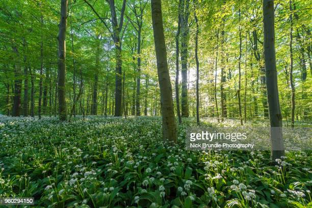 in the beechwoods - deciduous tree stock pictures, royalty-free photos & images