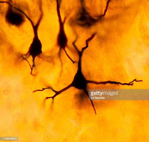 neurons (pyramidal cells) in the celebral cortex, 200x - neuroscience stock pictures, royalty-free photos & images