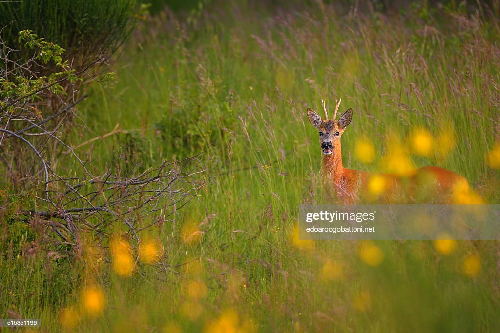in the evening a deer : Foto stock