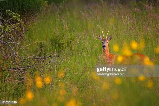 in the evening a deer - edoardogobattoni stock pictures, royalty-free photos & images