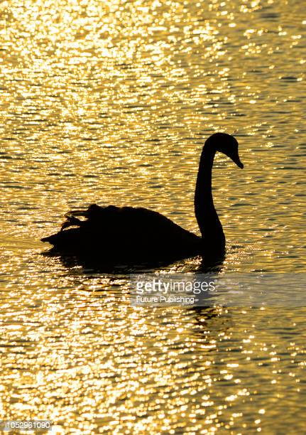 In the evening of October 24 Taicang, Jiangsu, China. More than 10 black swans feed and play in a pond in the village of Qingli village, Shuangfeng...