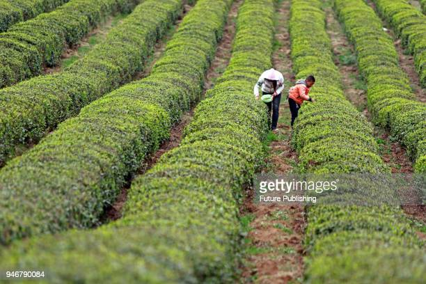 In the gentle spring sunshine the incense burner mountain tea field in the furnace mountain town of weiing autonomous county of guizhou province is...