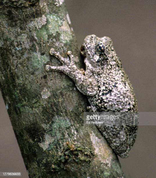 gray treefrog (hyla versicolor) in the gray color phase - ed reschke photography stock pictures, royalty-free photos & images