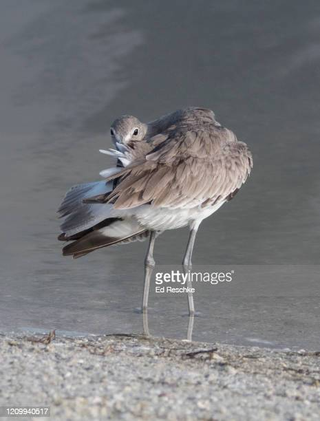 willet (catoptrophorus semipalmatus) preening in the gulf coast - ed reschke photography stock pictures, royalty-free photos & images