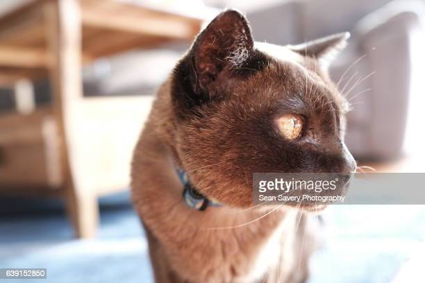 in the house - burmese cat stock pictures, royalty-free photos & images