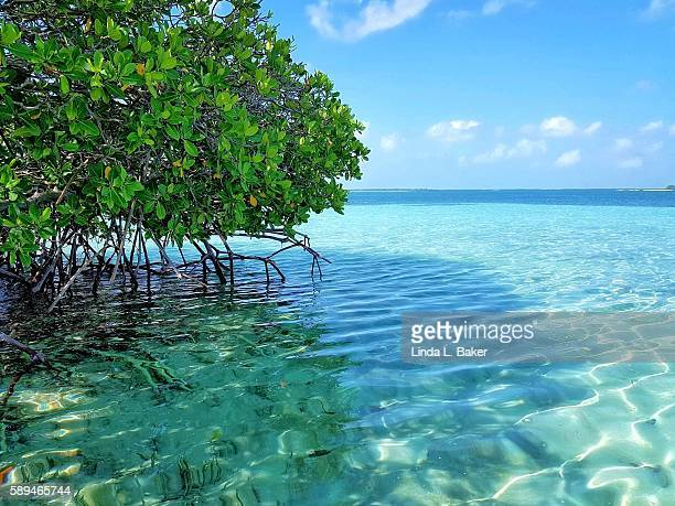 in the mangroves - mangrove tree stock pictures, royalty-free photos & images