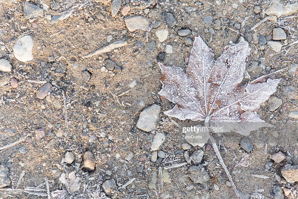 In the morning ground and soft maple leaf has frozen. : Stock Photo