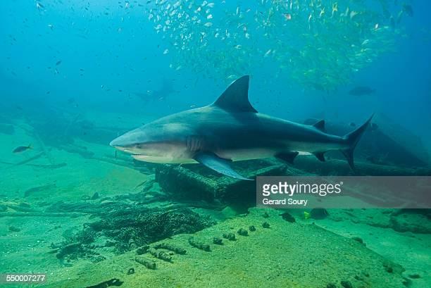BULL SHARK in the shipwreck El Vencedor