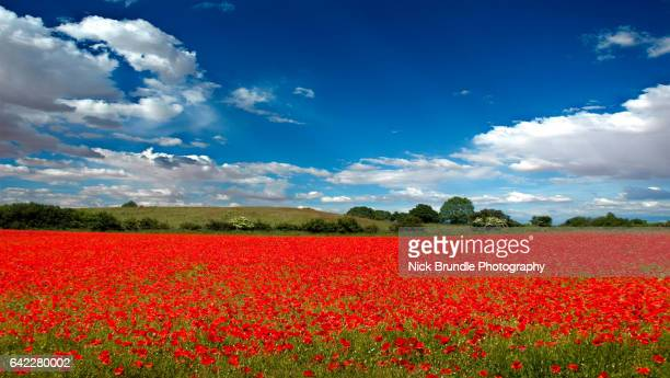 in the summertime - oriental poppy stock pictures, royalty-free photos & images