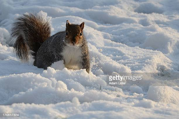 CONTENT] In the sunlight a squirrel is seen playing in the festive winter snow